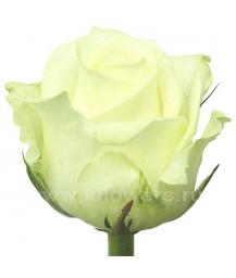 роза_Avalanche