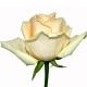 роза Пич Аваланш