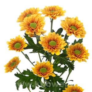 хризантема кустовая Флоранж