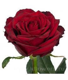 роза_Red Naomi