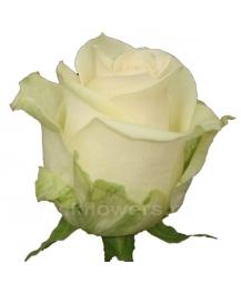 роза_A1