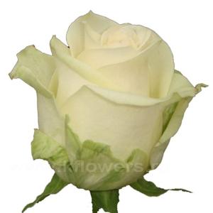 роза А 1