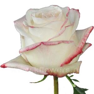 роза Амарена