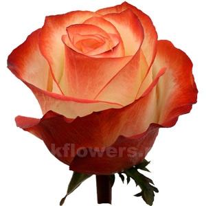 роза Фарфала