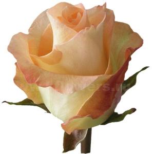 Свежесрезанные розы купить доставка цветов питер ode/122
