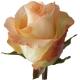 роза Хай Дива