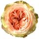 роза пионовидная Кахала