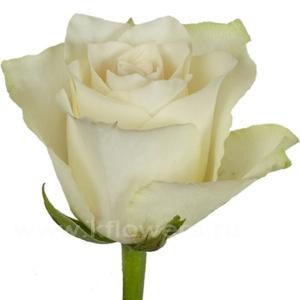 роза Афина