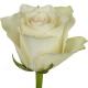 rose_Athena