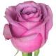 роза Кул Воте