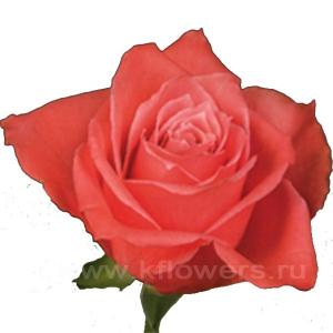 роза Деметра