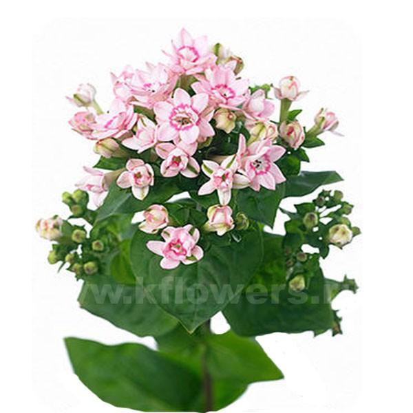 Бувардия фото цветов