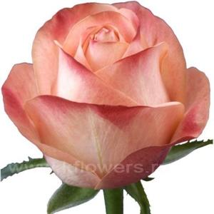 роза Эмошн