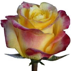 роза Хот Меренга