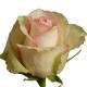 роза_La Belle