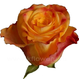 роза Мари Клер