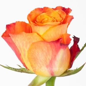 роза Марио