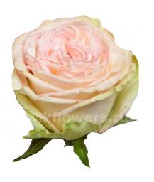 роза пионовидная Классико