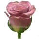 роза Дарк Гипноз