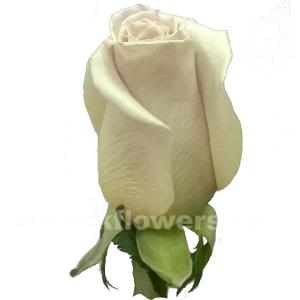 роза Мента