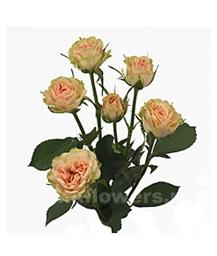 кустовая роза Елена