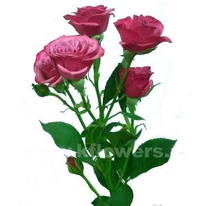 кустовая роза Кайли
