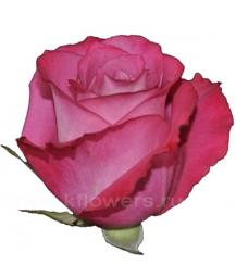 роза_Opus
