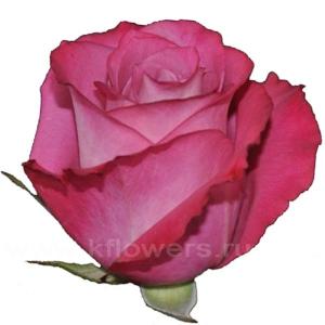роза Опс