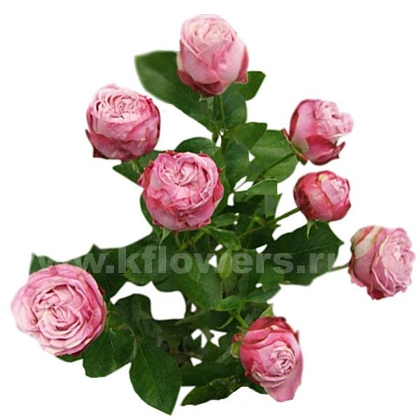 роза кения кустовая
