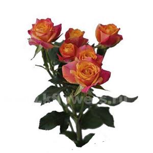 кустовая роза Сонора