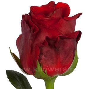роза Ред Риббон