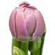тюльпан Дабл прайс