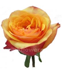 роза пионовидная Тайм Аут