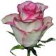 роза Соверин
