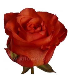 rose_Sputnik