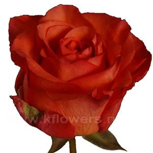 роза Спутник