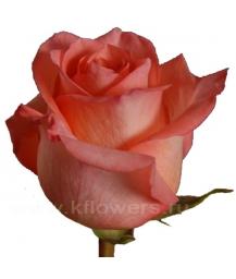rose_Svetlana