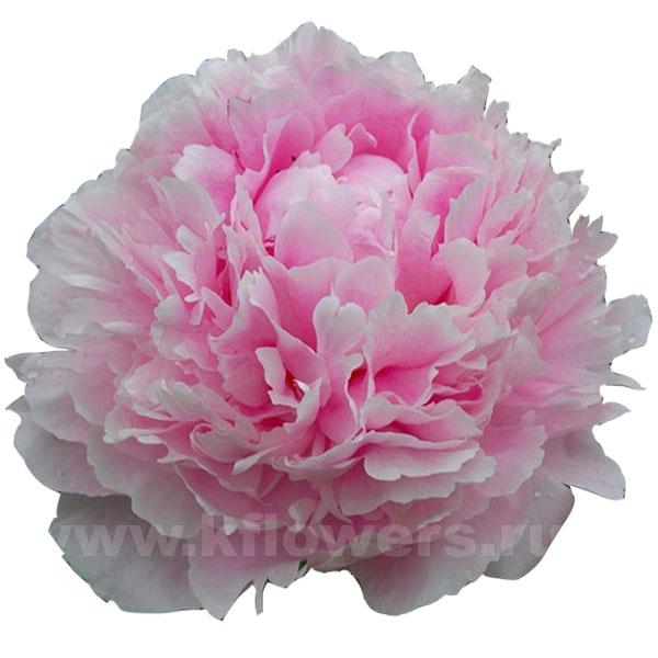 peonia цвет фото