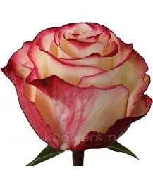 роза_Sweetness
