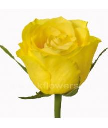 rose_Topsun