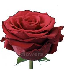 rose_Upper Class