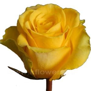 роза Вива