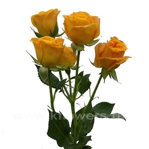 кустовая роза Абеба
