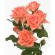 кустовая роза Барбадос