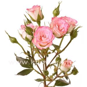 кустовая роза Джессика