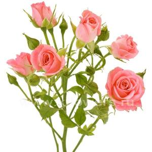 кустовая роза Натали