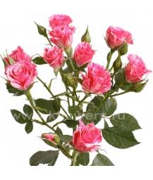 роза_Pink_Flash