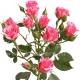 кустовая роза Пинк Флэш