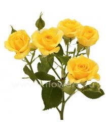 роза_Yellow Babe
