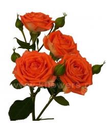 роза_Babe